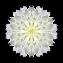 Giant White Dahlia V (color, black)