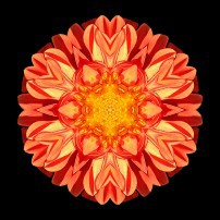 Orange Dahlia II (color, black)