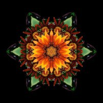 Orange Gazania III (color, black)