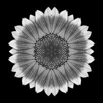 Orange and Yellow Sunflower I (b&w, black)