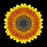 Orange and Yellow Sunflower I (color, black)