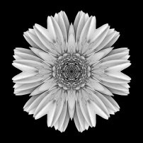 Pale Yellow Gerbera Daisy III (b&w, black)