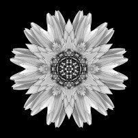 Pale Yellow Gerbera Daisy I (b&w, black)