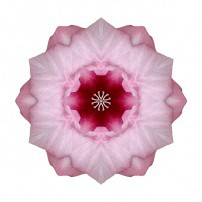 Pink Hibiscus I (color, white)