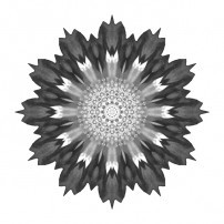 Spoon Chrysanthemum I (b&w, white)