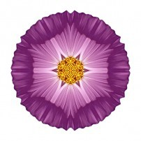 Violet Cosmos II (color, white)