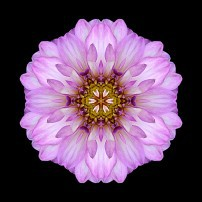 Violet Dahlia II (color, black)