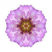 Violet Dahlia II (color, white)