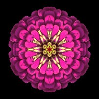 Violet Zinnia Elegans I (color, black)