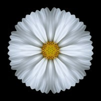 White Cosmos I (color, black)