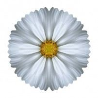 White Cosmos I (color, white)