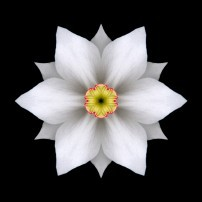 White Daffodil II (color, black)