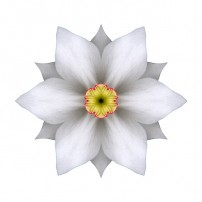 White Daffodil II (color, white)