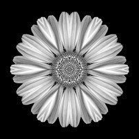 White Daisy I (b&w, black)