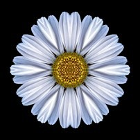 White Daisy I (color, black)