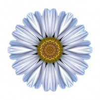 White Daisy I (color, white)