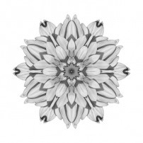 White and Pink Dahlia I (b&w, white)