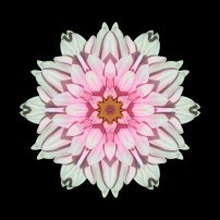 White and Pink Dahlia I (color, black)