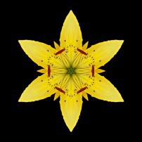 Yellow Lily I (color, black)