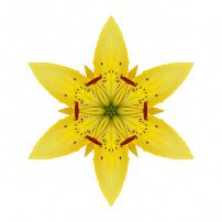 Yellow Lily I (color, white)