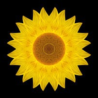 Yellow Sunflower IX (color, black)