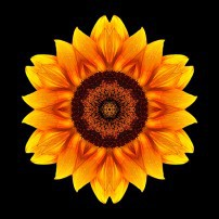 Yellow and Orange Sunflower VI (color, black)