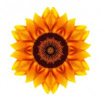 Yellow and Orange Sunflower VI (color, white)