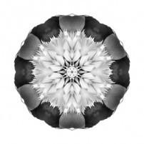Bowl of Beauty Peony II (b&w, white)