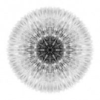 Dandelion Head I (b&w, white)