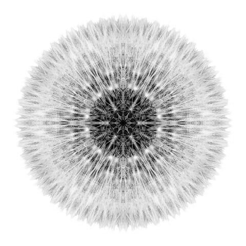 Dandelion Head I