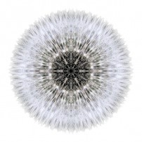 Dandelion Head I (color, white)