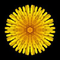 Dandelion V (color, black)