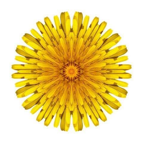 Dandelion V