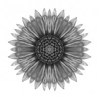 Galliardia Arizona Sun I (b&w, white)