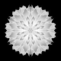 Giant White Dahlia V (b&w, black)