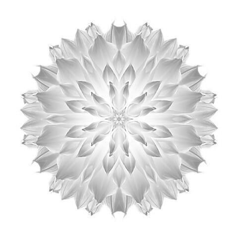 Giant White Dahlia V