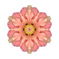 Hibiscus rosa-sinensis I (color, white)