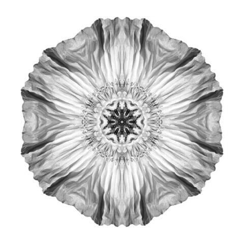 Iceland Poppy II