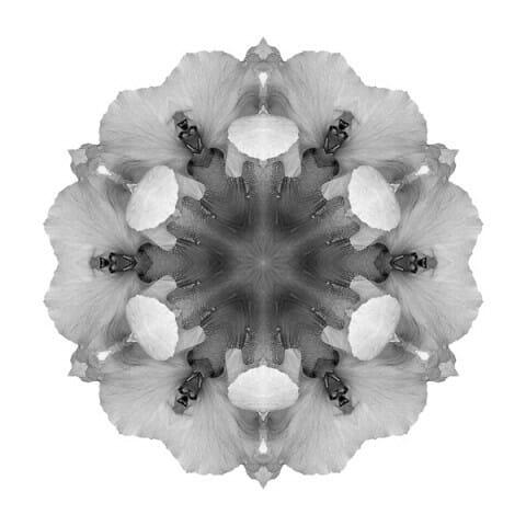 Iris Germanica I