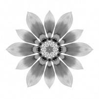 Orange Gazania I (b&w, white)