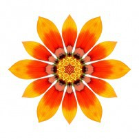 Orange Gazania I (color, white)