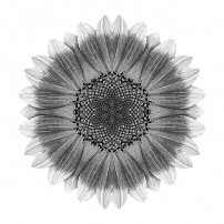 Orange and Yellow Sunflower I (b&w, white)