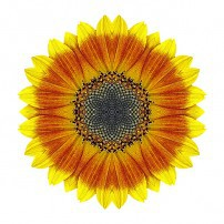 Orange and Yellow Sunflower I (color, white)