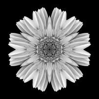 Pale Yellow Gerbera Daisy III (b&w, black)