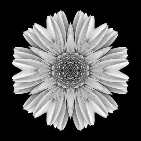 Pale Yellow Gerbera Daisy III