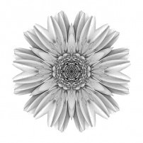 Pale Yellow Gerbera Daisy III (b&w, white)