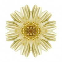 Pale Yellow Gerbera Daisy III (color, white)