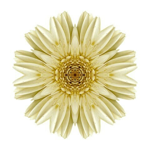 Pale Yellow Gerbera Daisy III