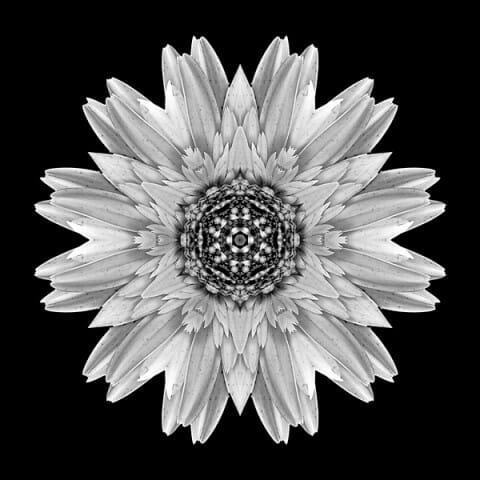 Pale Yellow Gerbera Daisy I
