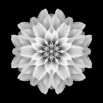 Pink Dahlia I (b&w, black)